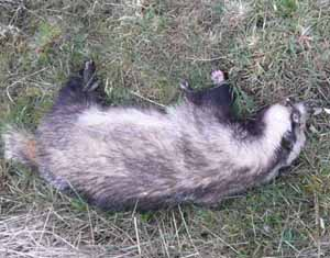 A dead badger on the side of the road