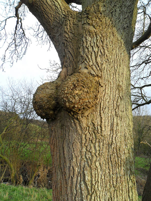 A tree with large breast-like appendages on its trunk
