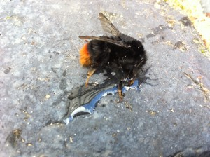 An ailing bumble bee sipping honey and water