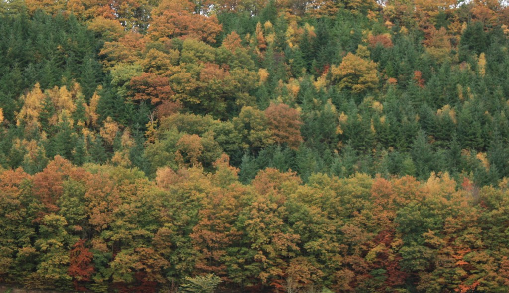 Distant view of mixed decidiuous and conifer woodland in autumn colours