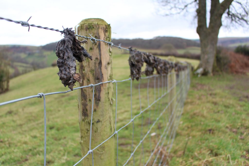 Dead moles hooked on a barbed wire fence in the countryside in Powys
