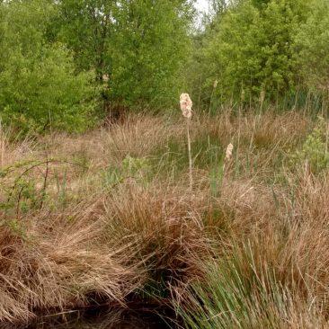 A barn owl/bull rush hybrid - common on the moss