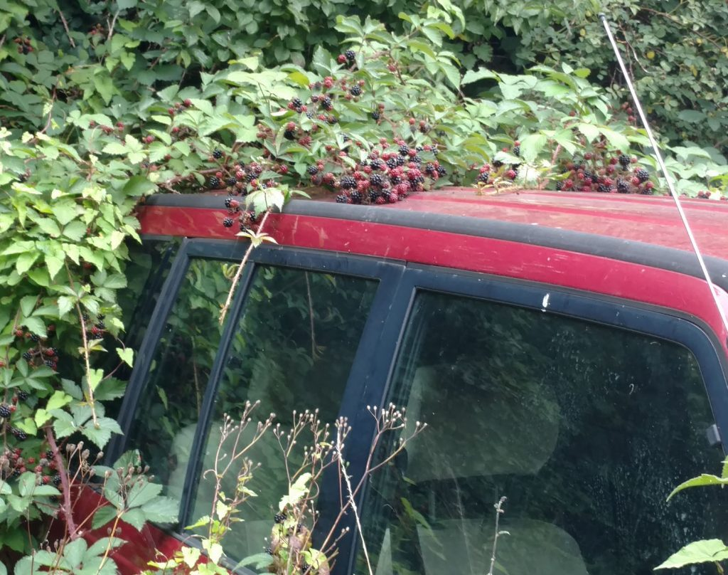 A red suzuki jeep abandoned and overgrown with bramble bush covered in blackberries